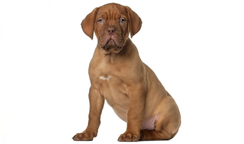 Dogue de bordeaux cani e gatti su 4zampe club for Cane tequila e bonetti